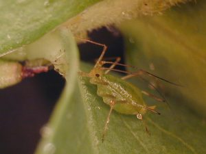 An adult blueberry aphid